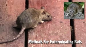 Three Effective Methods For Exterminating Rats