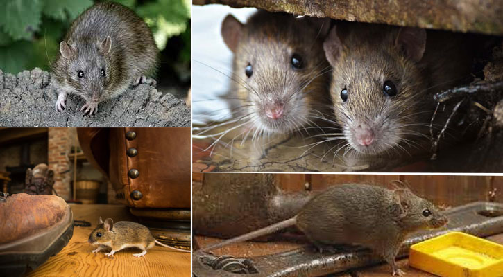 Popular Sorts Of Rodents